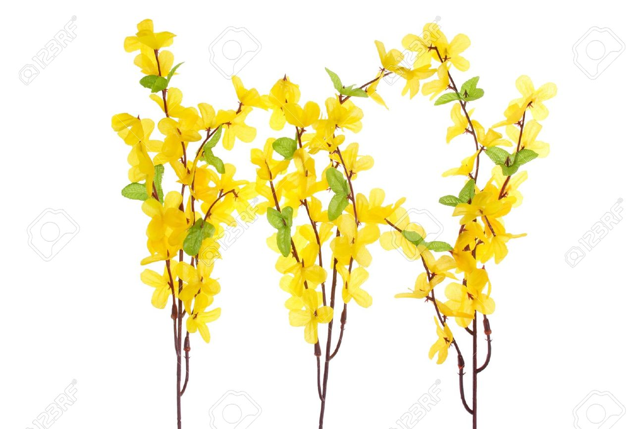 Forsythia Flowers Stock Photo, Picture And Royalty Free Image.