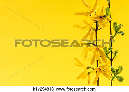 Stock Photo of Spring yellow background with forsythia flowers.