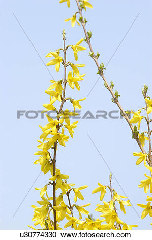 Stock Photography of plants, forsythia, plant, spring, yellow.