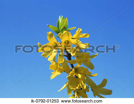 Stock Photo of Forsythia Flowers Blooming against Blue Sky ik.