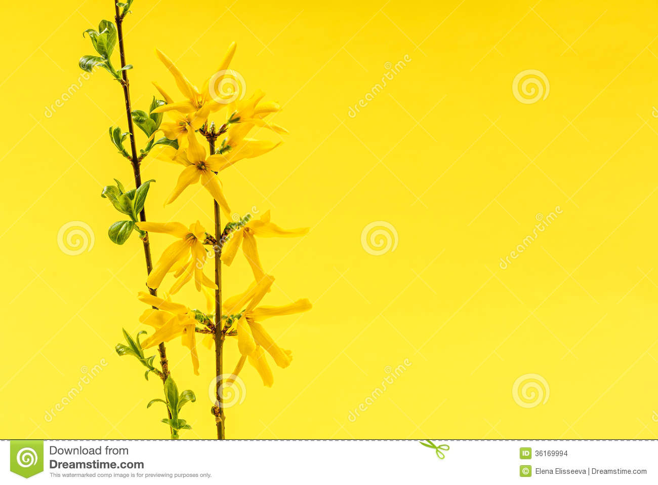 Yellow Background With Forsythia Flowers Stock Image.