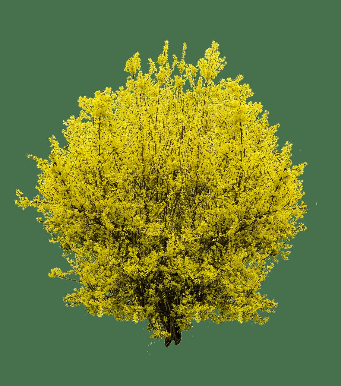 Forsythia transparent PNG.
