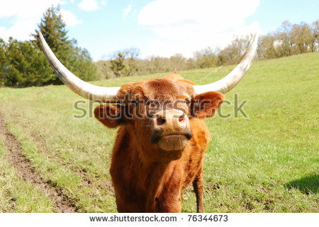 """texas Longhorn Steer"" Stock Photos, Royalty."