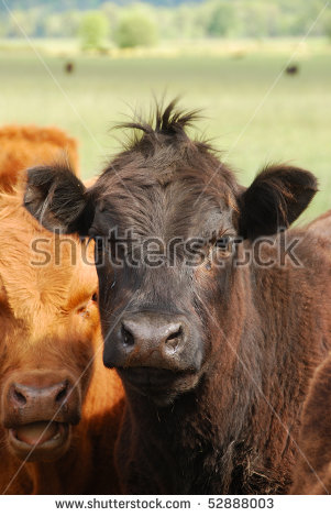 Steer Cow Stock Photos, Royalty.