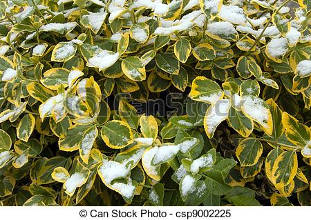 Stock Images of Euonymus fortunei Emerald Gold under snow.