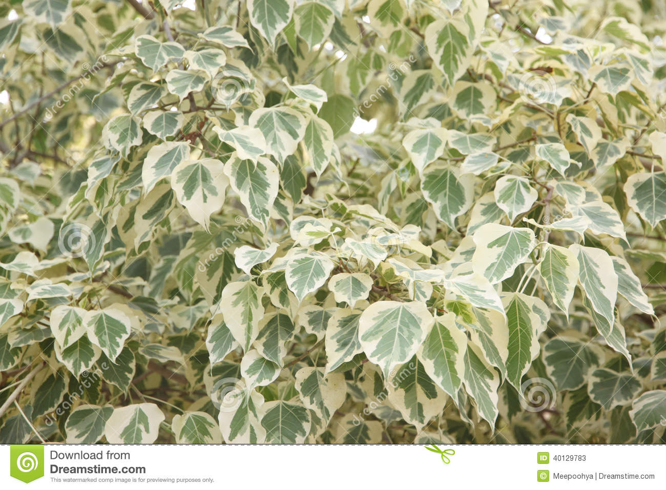 Euonymus Fortunei,The Tree Of Two Color On Leaves. Stock Photo.