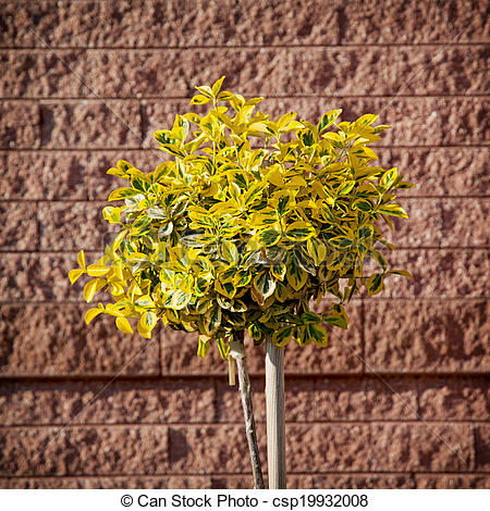 Stock Photography of Emerald gold (Euonymus fortunei) planted in.