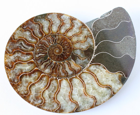 huge ammonite fossil large nautilus shell by EarthandSkyAlchemy.