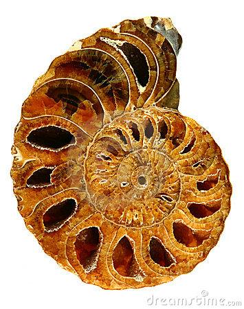 Beautiful Fossil Nautilus Close Up Stock Photography.