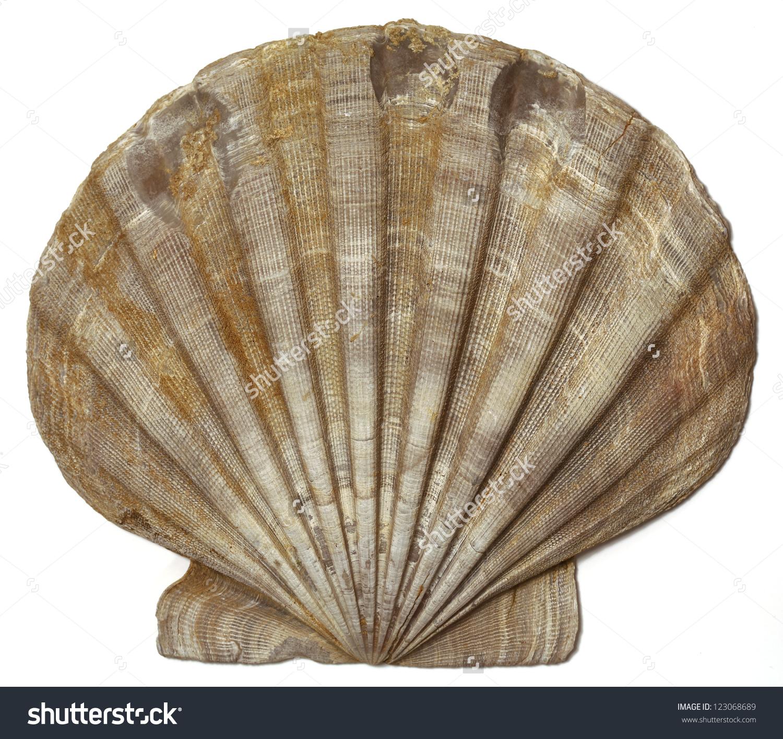 Fossil Shell Chesapecten Jeffersonius Surry Virginia Stock Photo.