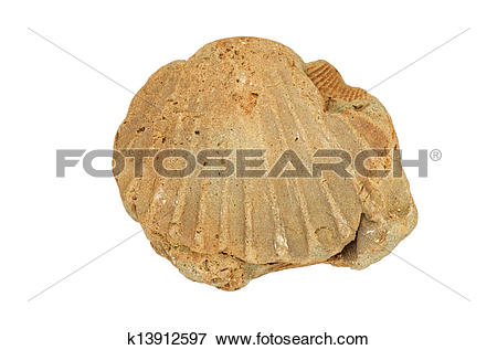 Picture of Fossil Shell k13912597.