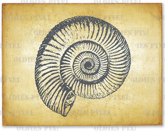 Antique Fossil Shell SeaShell Line Art Illustration by OldiesPixel.