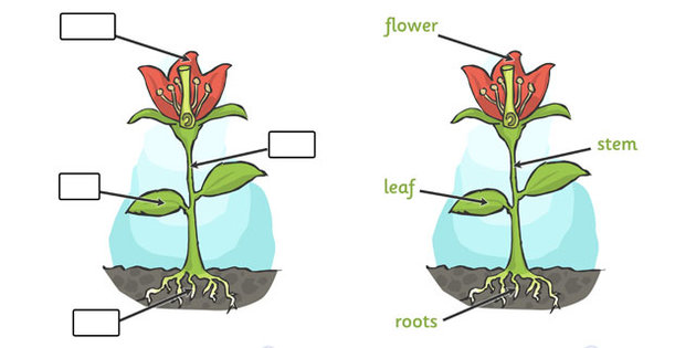 Parts of a Plant (Foundation Stage).