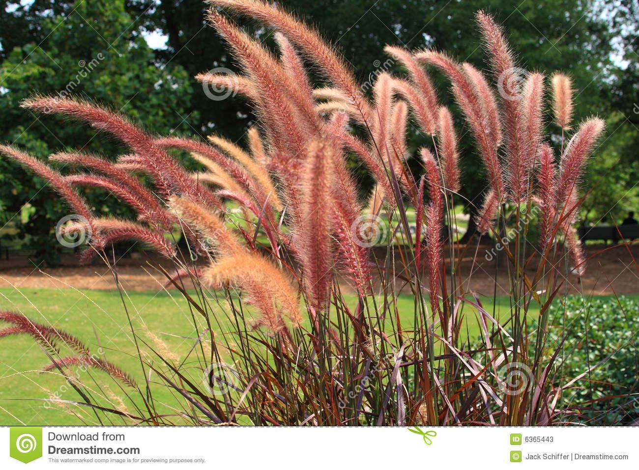 Pink Fountain Grass Stock Photos.