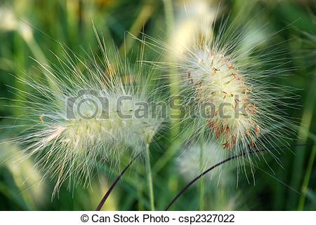 Stock Photo of Little Bunny Fountain grass plumes in a closeup.