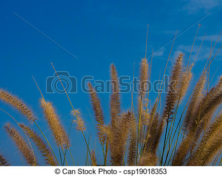 Stock Images of Foxtail fountain grass, Pennisetum setaceum with.