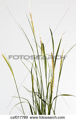 Stock Photograph of Pennisetum fountain grass against white.