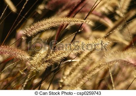 Stock Photos of Fountain Grass.