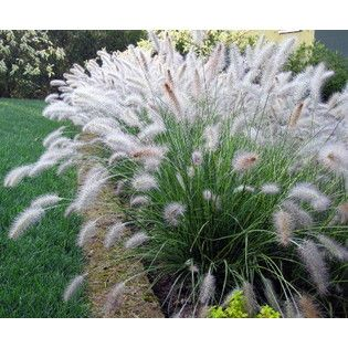 oriental fountain grass in planter at pool edge. Pavers around.