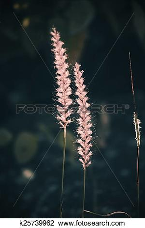 Stock Photo of African fountain grass, Pennisetum setaceum.