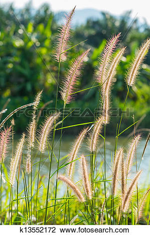 Stock Photo of Fountain grass k13552172.