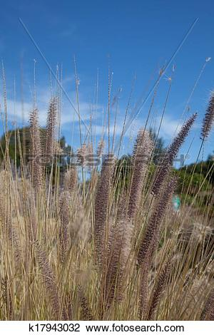 Stock Photo of Fountain Grass k17943032.