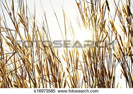 Stock Image of Dry Fountain grass against sunlight background.