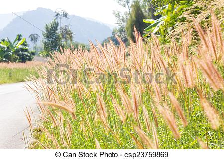 Stock Image of brown fountain grass cluster on the wayside.