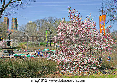 Stock Photo of Bethesda Fountain area blossoming magnolia tree in.
