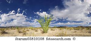 Fouquieria splendens Stock Photo Images. 59 fouquieria splendens.