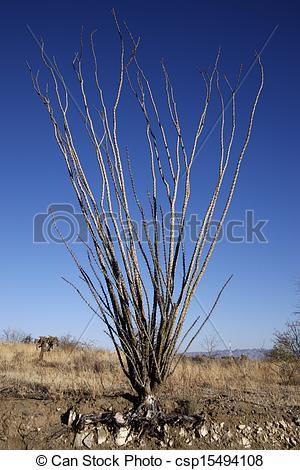 Stock Photography of Ocotillo cactus, Fouquieria splendens.