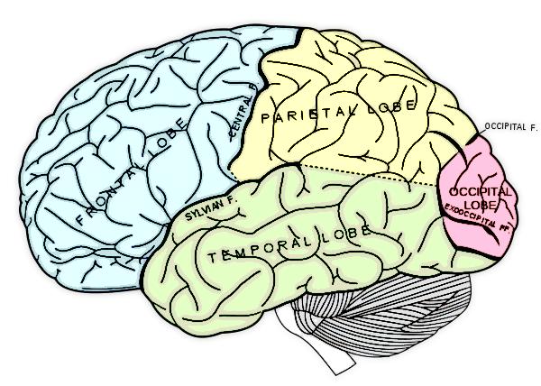 The Roles of the Cerebral Cortex.