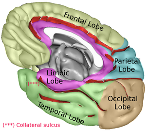 Lobes of the brain.