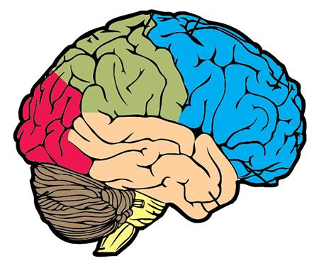 Brain lobes diagram unlabeled.