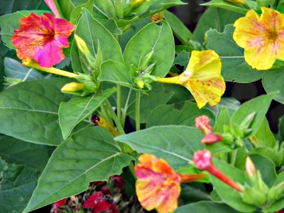 Tropical Four O Clock Flowers, Mirabillis, Exotic Flower Guide.