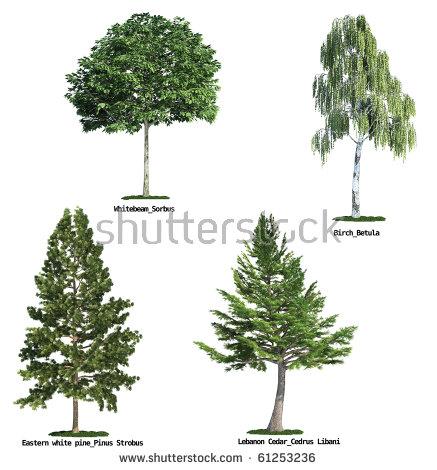 Cedar Tree Isolated Stock Photos, Royalty.