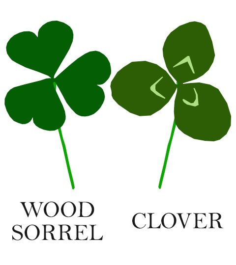 Wood Sorrel : The Original Sour Patch.