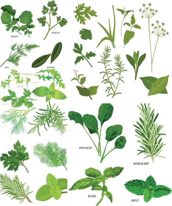 Herbs illustrations vector.