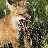 Stock Photo of Gray fox with open mouth 1784763.
