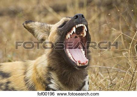 Stock Images of South Africa, Krüger National Park, Bat eared Fox.