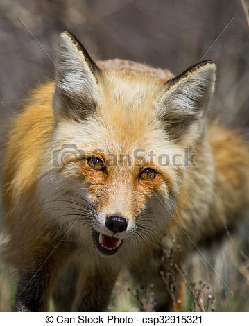 Stock Photo of energetic red fox approaches with mouth open and.