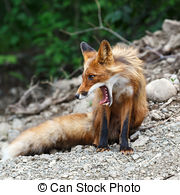 Stock Images of Beautiful Red Fox.