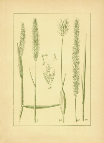 Foxtail Barley Clip Art, Vector Images & Illustrations.