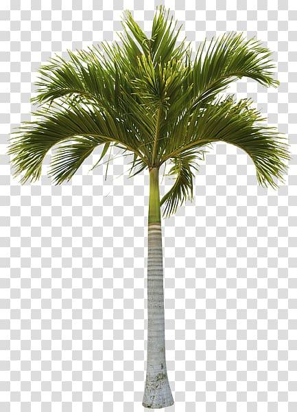 Arecaceae Coconut Tree Trunk Date palm, coconut transparent.