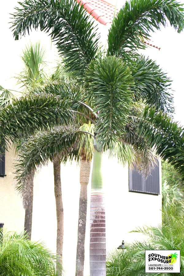 Cp Paurb: Coconut Palm Tree Clip Art Tropical coconut palm tree.