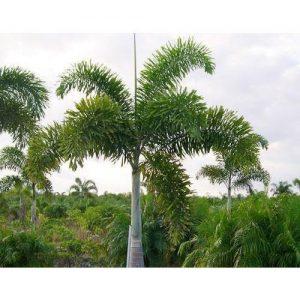 Foxtail Palm Plant.