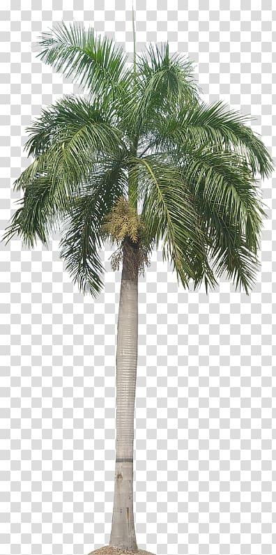 Roystonea regia Arecaceae Tree Queen palm, tree transparent.