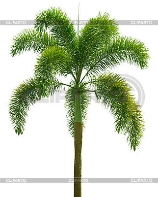 Wodyetia (Foxtail Palm). Palm tree.