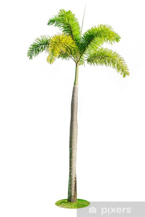 Foxtail palm tree isolated on white background Wall Mural.