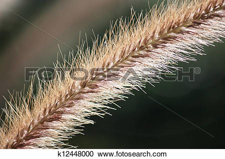 Stock Photography of Foxtail grass plant flower close up k12448000.